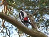 Större hackspett - Great Spotted Woodpecker (Dendrocopos major)