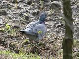 Skogsduva - Stock Dove (Columba oenas)