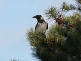 Kråka - Hooded Crow (Corvus corone)