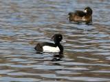 Vigg - Tufted Duck (Aythya fuligula)