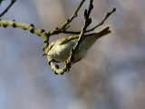 Kungsfågelsångare - Pallas's Warbler (Phylloscopus proregulus)