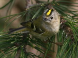 Kungsfågel - Goldcrest (Regulus regulus)