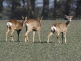 Rådjur- Roe deer (Capreolus capreolus)