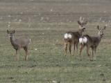 Rådjur - Roe Deer (Capreolus capreolus)