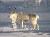 Ren - Reindeer (Rangifer tarandus )