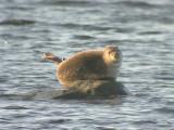 Knubbsäl - Common seal (Phoca vitulina)