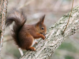 Ekorre - Eurasian red squirrel (Sciurus vulgaris)