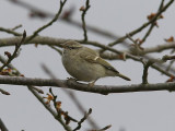 Bergstaigasångare - Humes Warbler (Phylloscopus humei)