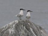 Kentsk tärna - Sandwich Tern (Sterna sandvicensis)