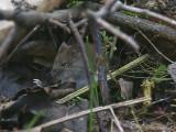 Skogssork - Bank vole (Clethrionomys glareolus)