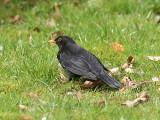 Koltrast - Blackbird (Turdus merula)
