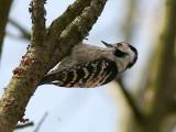 Mindre hackspett - Lesser Spotted Woodpecker (Dendrocopos minor)