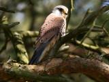 Tornfalk - Kestrel (Falco tinnunculus)