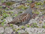 Rapphöna - Partridge (Perdix perdix)