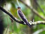 050205 bb Southern rough-winged swallow Rancho Grande.jpg