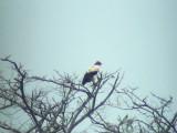 050205 hh King vulture Cumboto road.jpg