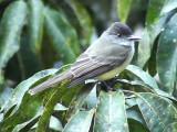050207 aaa Dusky-capped flycatcher Rancho Grande.jpg