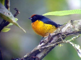 050207 ddd Orange-bellied Euphonia Rancho Grande.jpg
