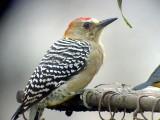 050207 ffff Red-crowned woodpecker Rancho Grande.jpg