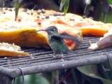 050207 iiii Violet-chested hummingbird Rancho Grande.jpg