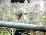 050207 jjjj Violet-chested hummingbird Rancho Grande.jpg