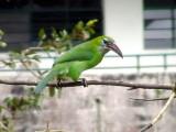 050207 kkkk Groove-billed toucanet Rancho Grande.jpg
