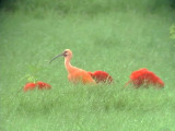 050208 jj Scarlet ibis Cuare wildlife refuge.jpg