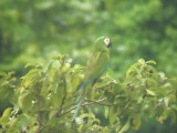 050209 a Chestnut-fronted macaw El Vigia.jpg