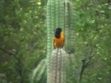 050209 l Venezuelan troupial  S Lagunillas.jpg