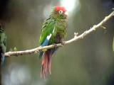 050211 i Rose-headed parakeet La Azulita road.jpg