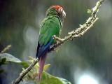 050211 j Rose-headed parakeet La Azulita road.jpg