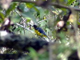 050213 ll Lacrimose mountain tanager Gustavo´s trail.jpg