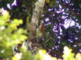 050213 oo Pearled treerunner Gustavo´s trail.jpg