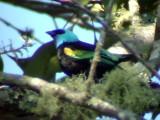 050214 a Blue-necked tanager La Soledad rd.jpg