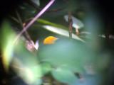 050214 g Golden-headed manakin La Soledad rd.jpg