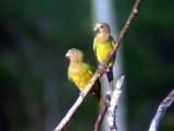 050214 tt Brown-throated parakeet Altamira rd.jpg