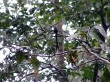 050216 h Scissor-tailed hummingbird Cerro Humo.jpg