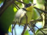 050217 c Common tody-flycatcher  Balneario Sabacual.jpg
