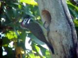050217 dd Spot-breasted woodpecker Balneario Sabacual.jpg