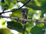 050219 n Black-spotted piculet Caño Colorado.jpg