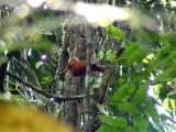 050219 q Ringed woodpecker Caño Colorado.jpg