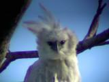 050220  Harpy eagle Rio Grande.jpg