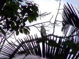 050220 aa Harpy eagle Rio Grande.jpg