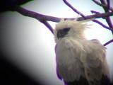 050220 b Harpy eagle Rio Grande.jpg