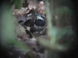 050220 qq Ferruginous-backed antbird Rio Grande.jpg