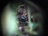 050220 ooo Ferruginous-backed antbird Rio Grande.jpg