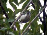 050220 sss White-bellied piculet Parador Taguapire El Palmar.jpg