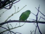 050220 ttt Green-rumped parrotlet  Parador Taguapire El Palmar.jpg