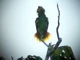050221 aaa Orange-winged parrot Rio Grande.jpg