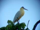 050221 d Capped heron Rio Grande.jpg